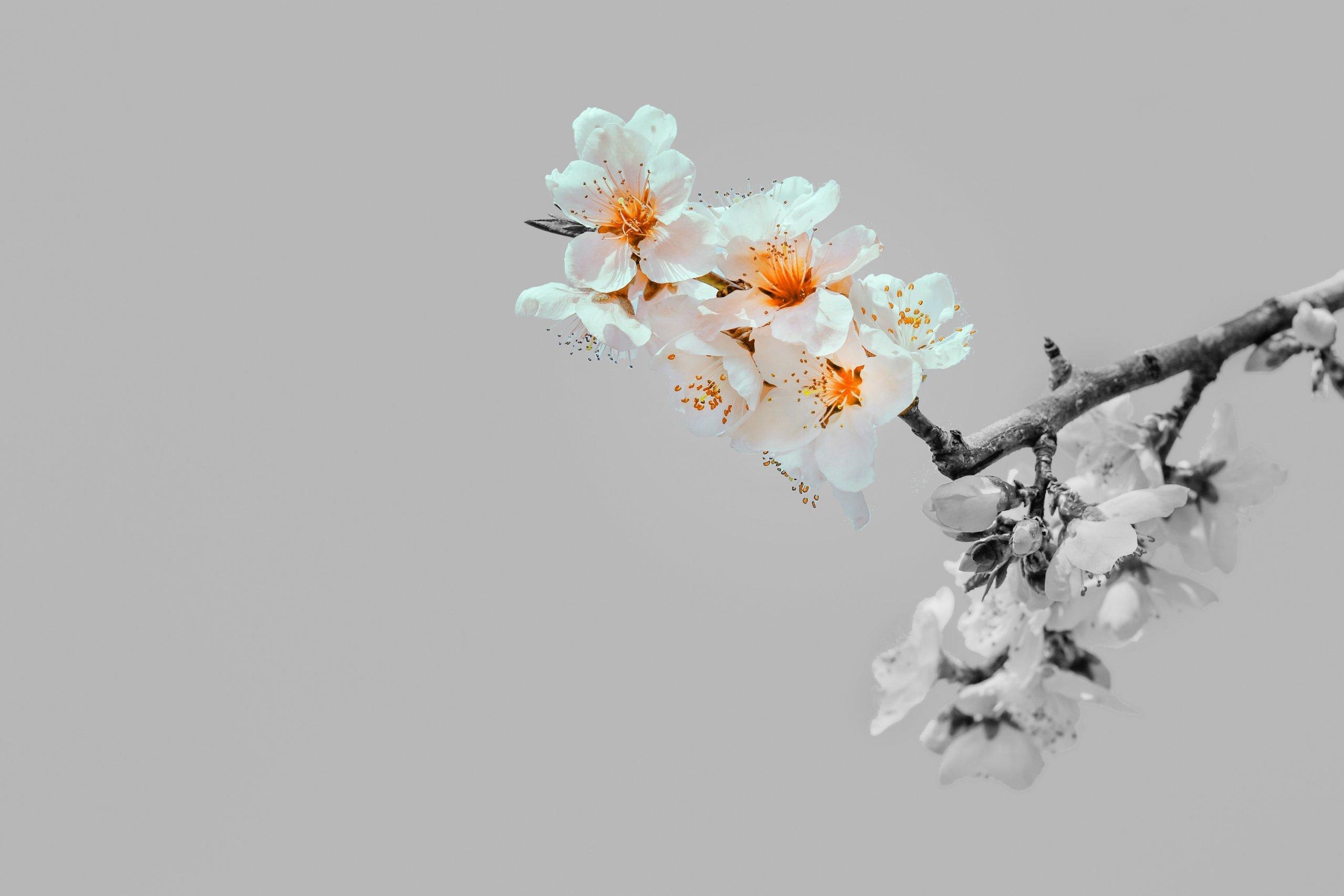 Cherry-Treepsd